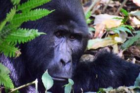 5 Days Gorilla And Chimpanzee Habituation Experience Uganda