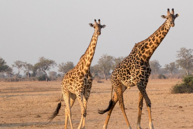 Giraffes at Zambia, Africa_P