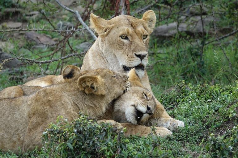 Lions at Kenya, East Africa