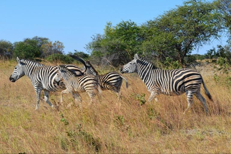 Zebras at Zimbabwe, Africa_P