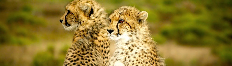 Two cheetahs in Africa on wildlife tour safari