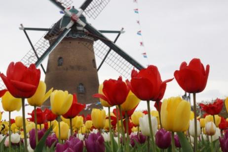 Tulips & windmills tour