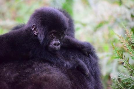 6 Days Uganda Primate Trekking Safari