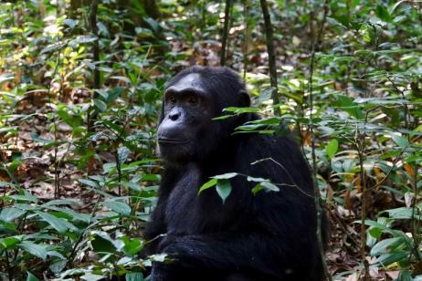 5 Days Chimpanzee And Gorilla Tracking Safari Uganda