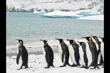 King Penguins of the Falklands and South Georgia - Expedition