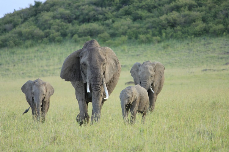 Masai Mara Africa Elephant-Kenya-2741176-P