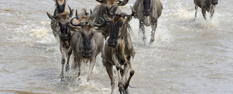 Tanzania top safari experience, Wildebeest crossing