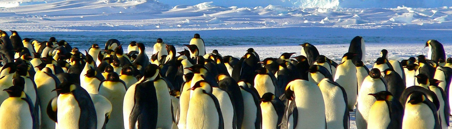 Large Emperor Penguin colony gathered on snow in Antarctica
