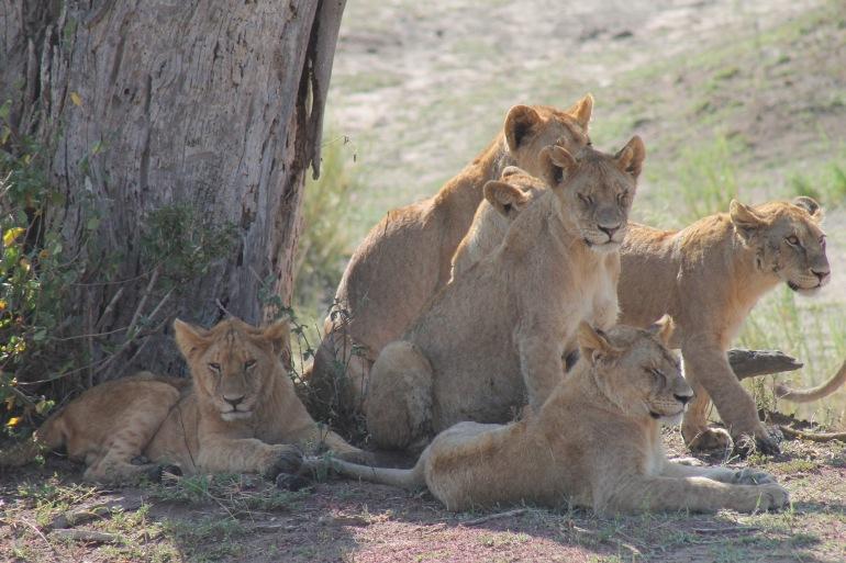 Lions at Tanzania, Africa