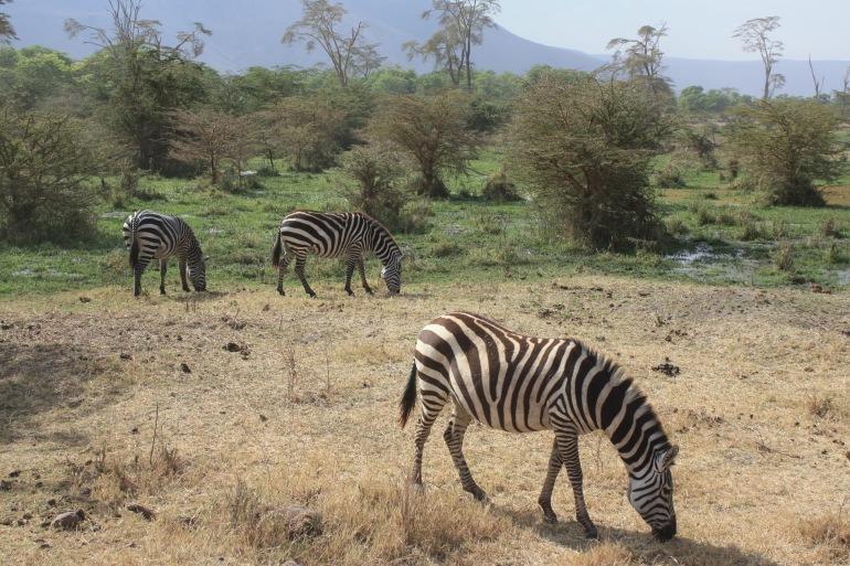 Zebras at Tanzania, Africa_P