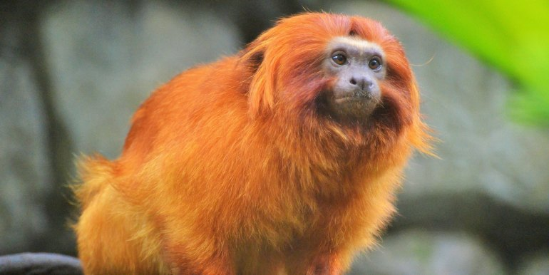 Howler Monkey in the Amazon