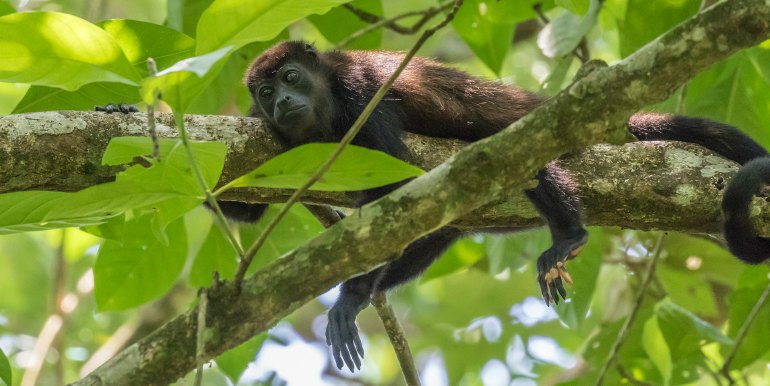 Black monkey in the trees in the Amazon