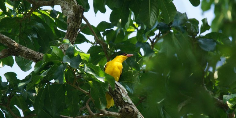Bright yellow bird in Asia