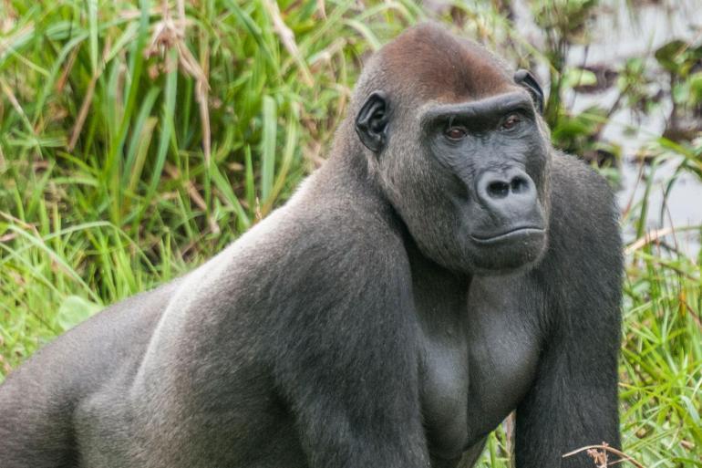 Republic of Congo Expedition - Gorilla Trek  tour