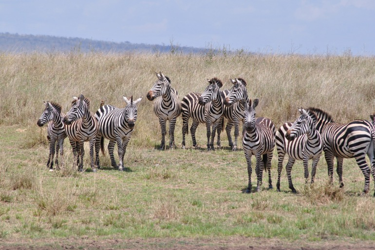 Group of Zebras at Serengeti, Tanzania