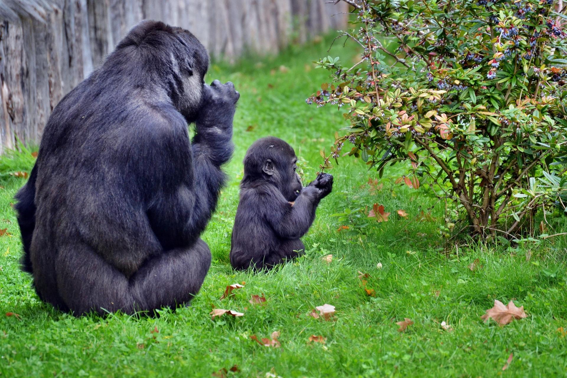 Mother and Baby Gorillas at Park, Rwanda