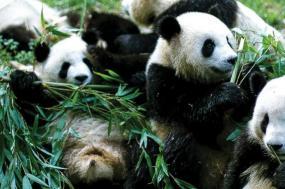 Pandas to Pagodas