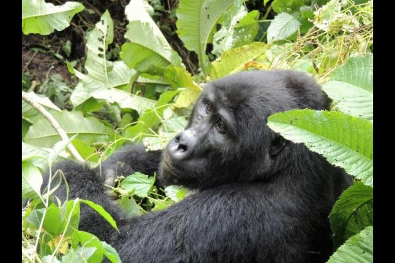 Local Immersion Culture 3 Days Flying Gorilla Package to Bwindi National Park package