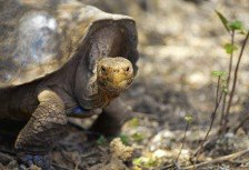 Giant Tortoise on Santa Cruz Island, top Galapagos experience