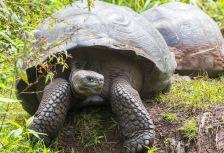Top Ecuador attraction, giant tortoises on the Galapagos
