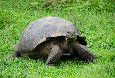Galapagos Islands tortoise