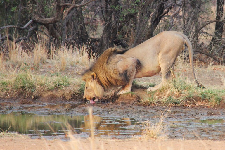 Thirsty Lion at Johannesburg, Africa_P