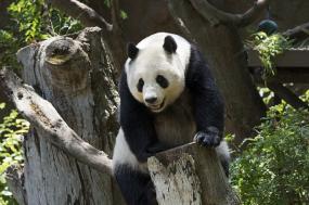 China – Panda Conservation Adventure