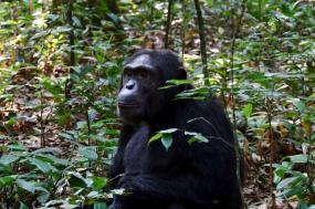 5 Days Chimpanzee And Gorilla Tracking Safari Uganda