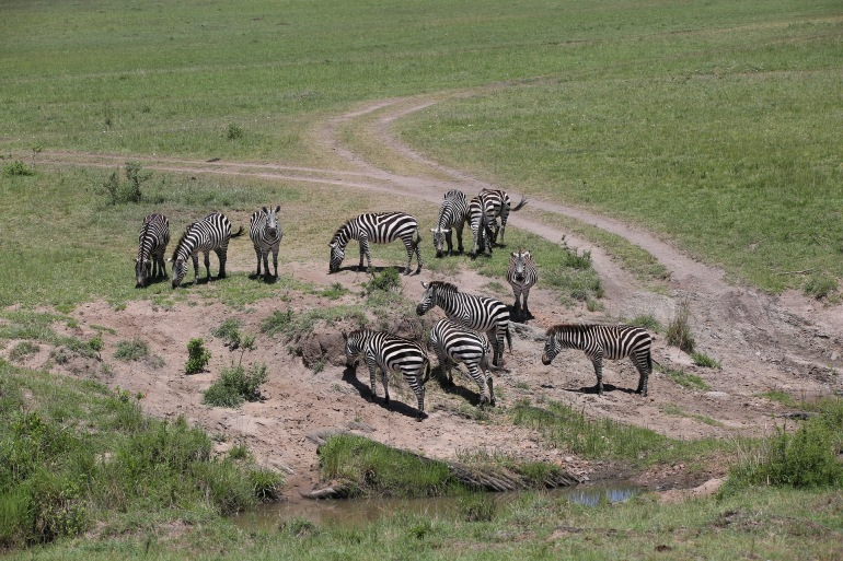 Group of Zebras in Maasai Mara-2850245_P