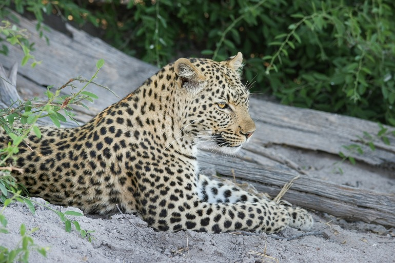 Leopard at Botswana, Africa_P
