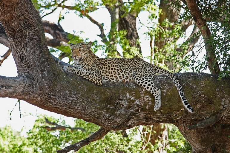 Leopard on the tree- Botswana_Africa_2923963_P