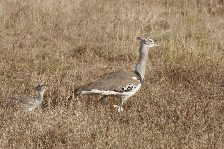 Secretary Bird view at Tanzania, Africa_P
