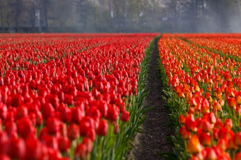 Bike tour-flower fields-Holland_21690_P