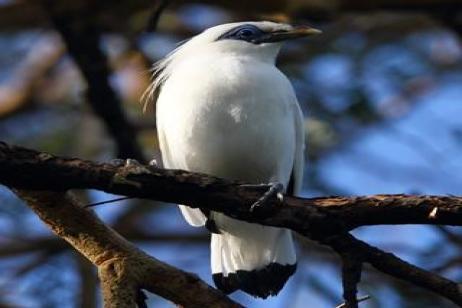 Indonesia - Bali Birding Extension 2020 tour