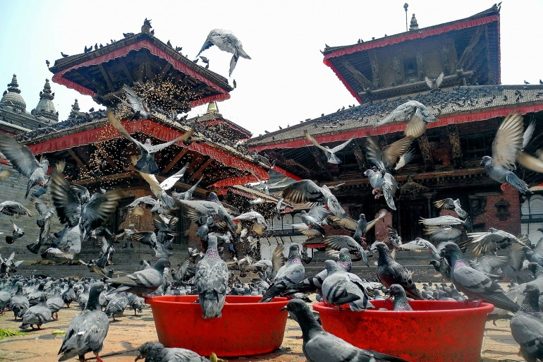 Beautiful view birds pigeons-Nepal_96564_P