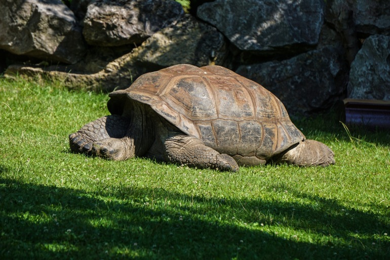 Gaint-Tortoise on the Land-Galapagos-Ecuador-3524085-p