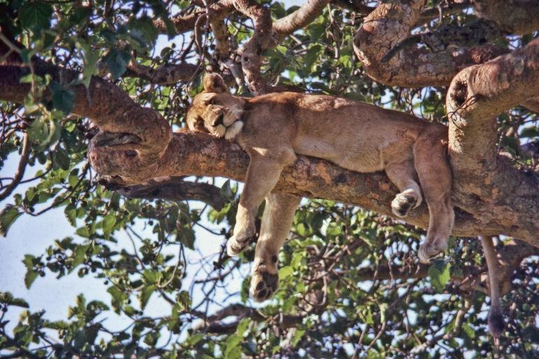 Ishasha lion tree-Uganda-2376015-P