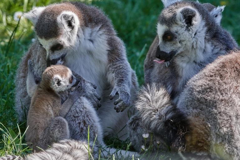 Lemurs at Madagascar, East Africa