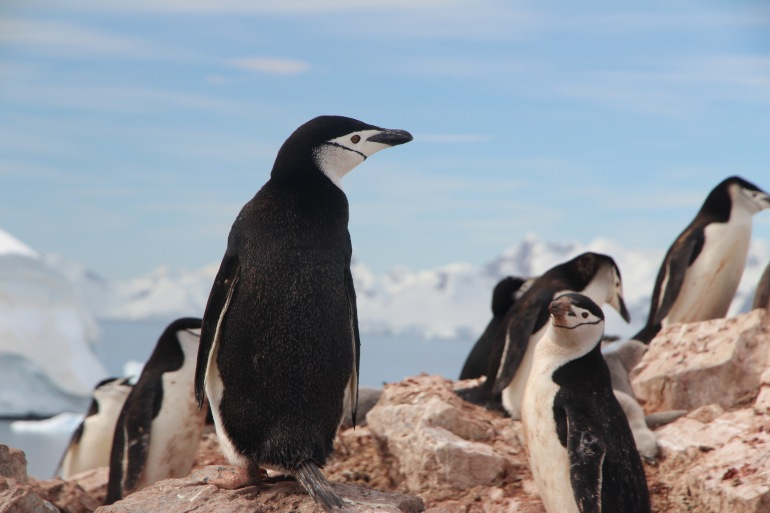 Groups of Penguins-Antarctica-p
