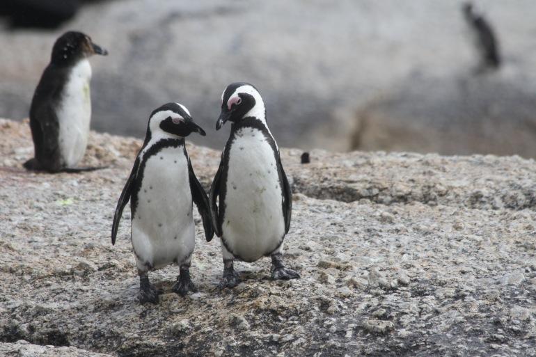Peguins in Drake Passage, Antarctica