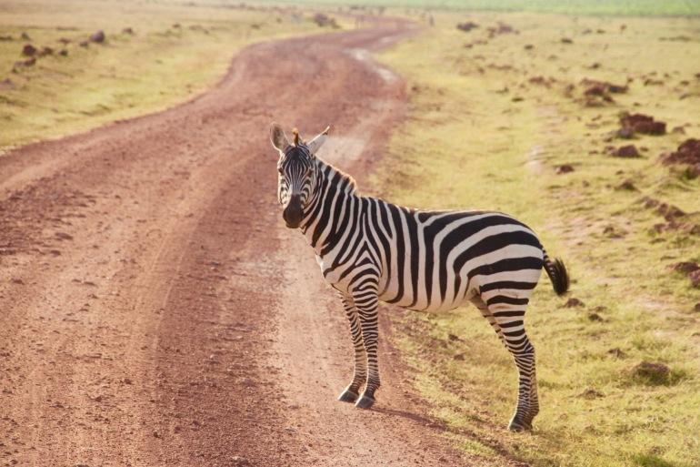 Zebra Found at Amboseli, Kenya