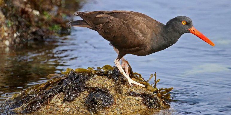 Black Oystercatcher in California