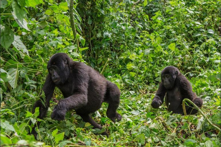 Nature & Wildlife Wildlife viewing Mountain Gorillas of Rwanda package