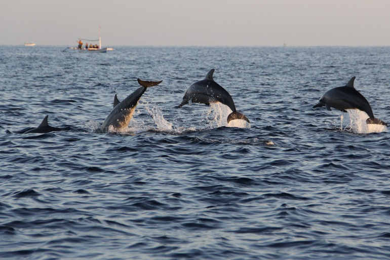 Dolphins in Island-Croatia-p