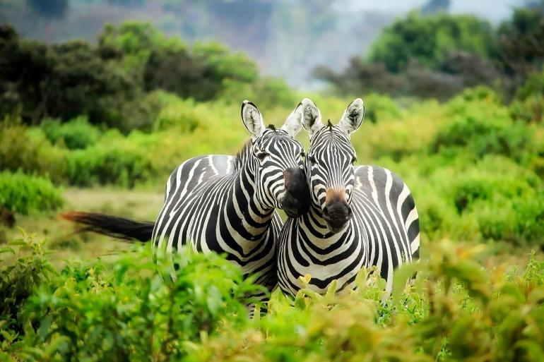African Zebra-kenya-1883654_1920-P