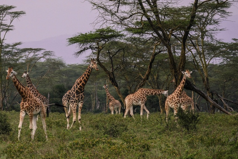 Giraffes Together View at Nakuru, Kenya