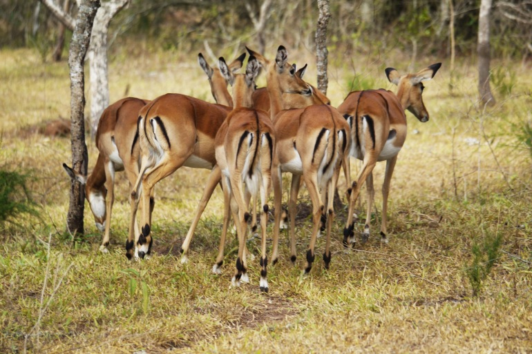 Group od deers in lake mburo national park-Uganda-1536878_1920_p