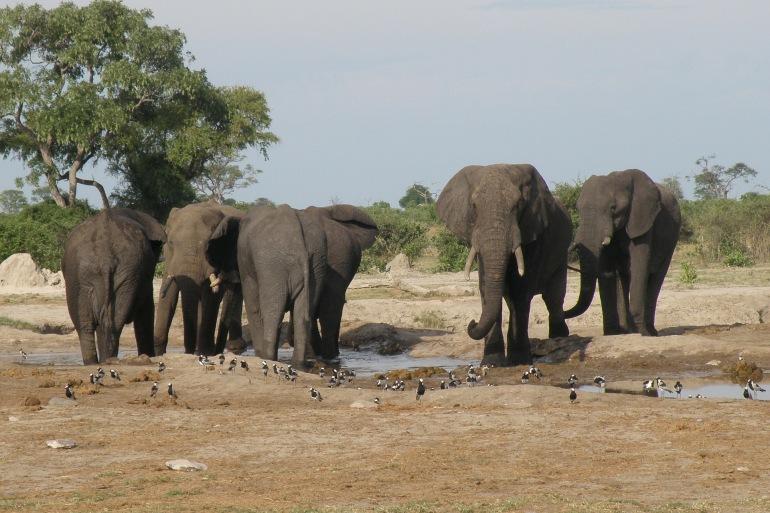 Group of Elephants_Africa_82473_P