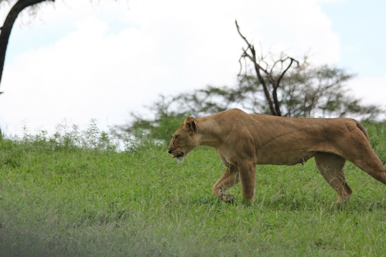 Lioness in Tanrangire-Africa-223014_P