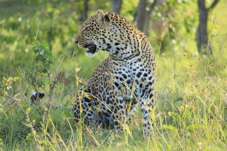 Wild Leopard at Masai Mara, Kenya